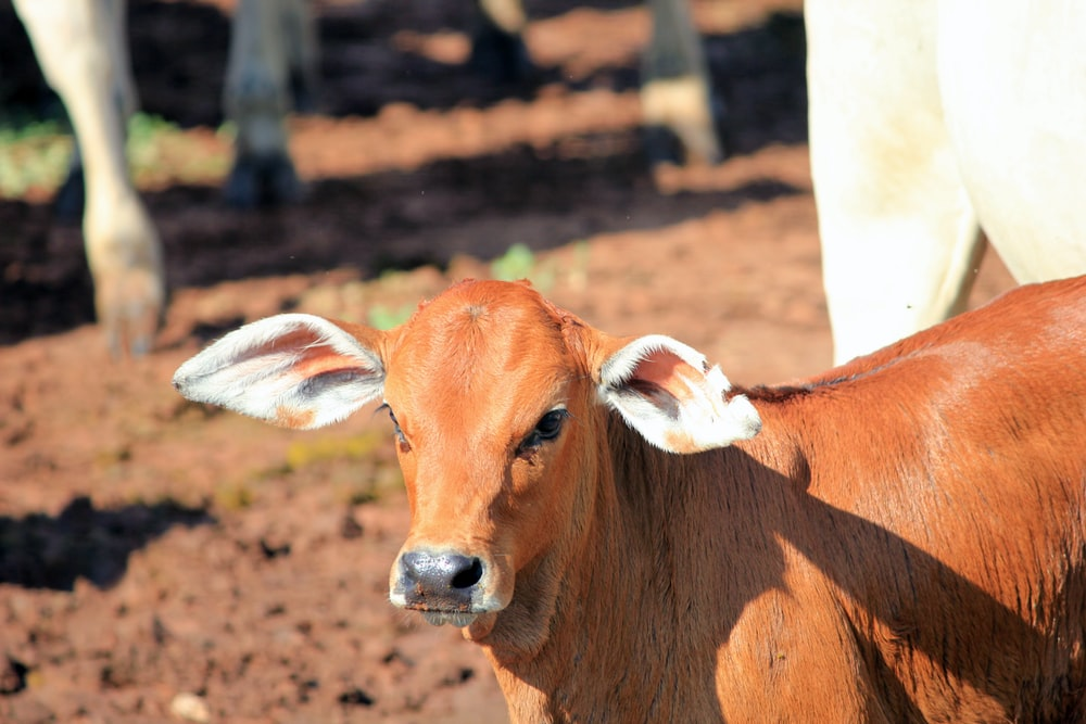brown cattle on focus photography