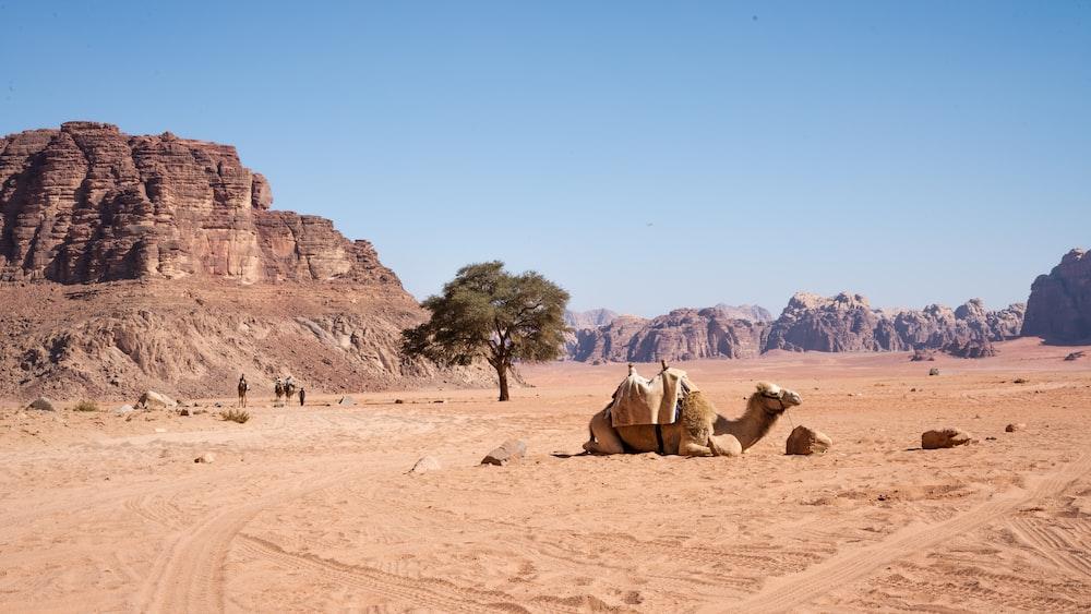 brown camel near mountain