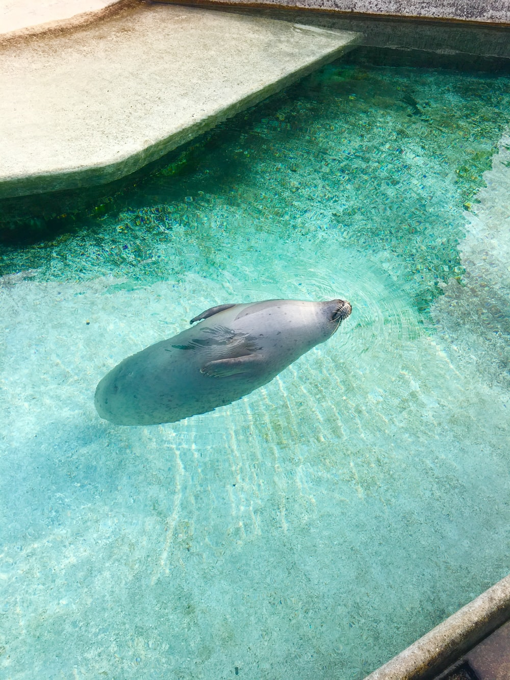 sealion on water