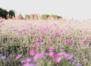 pink petaled flower field at daytime