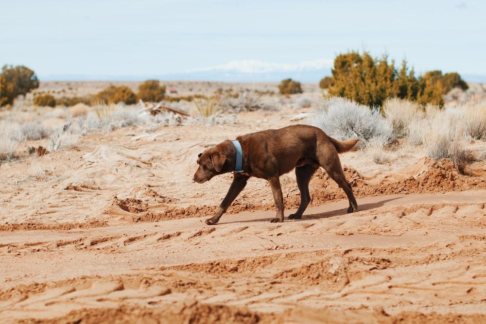 short-coated black dog walking near bushes
