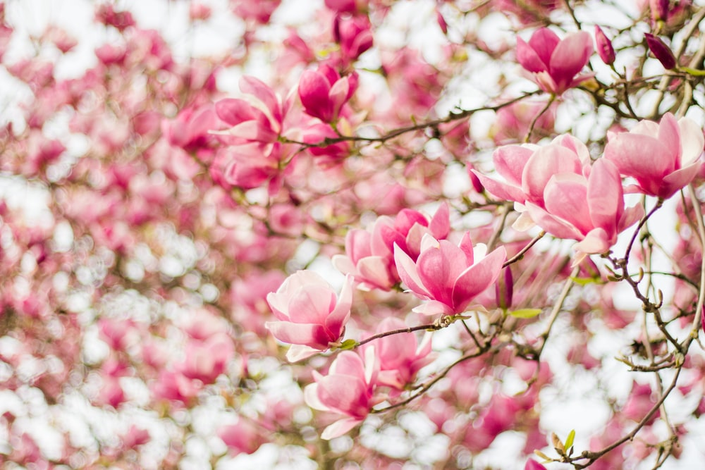 Saucer Magnolia Tree Pictures Download Free Images On Unsplash