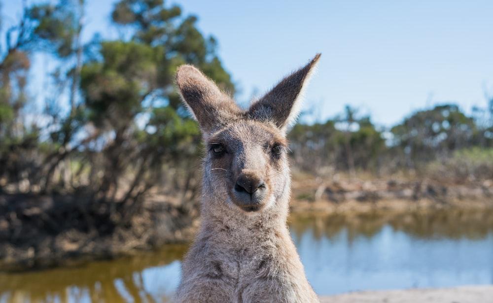 close-up photo of kangaroo near lake