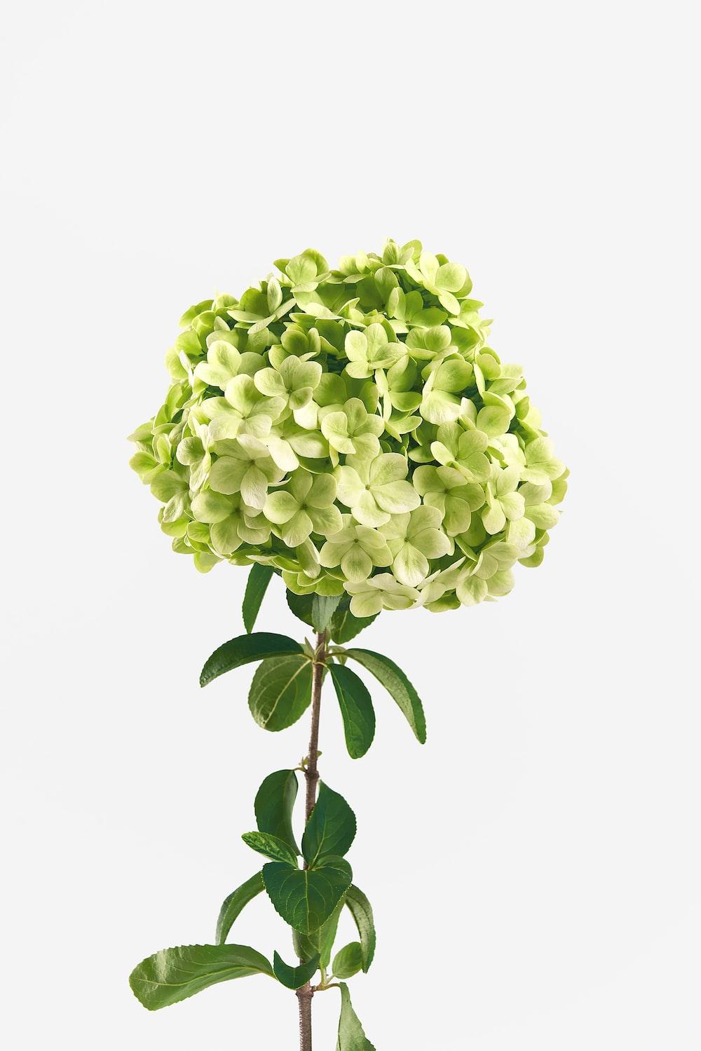 green hydrangea flowers