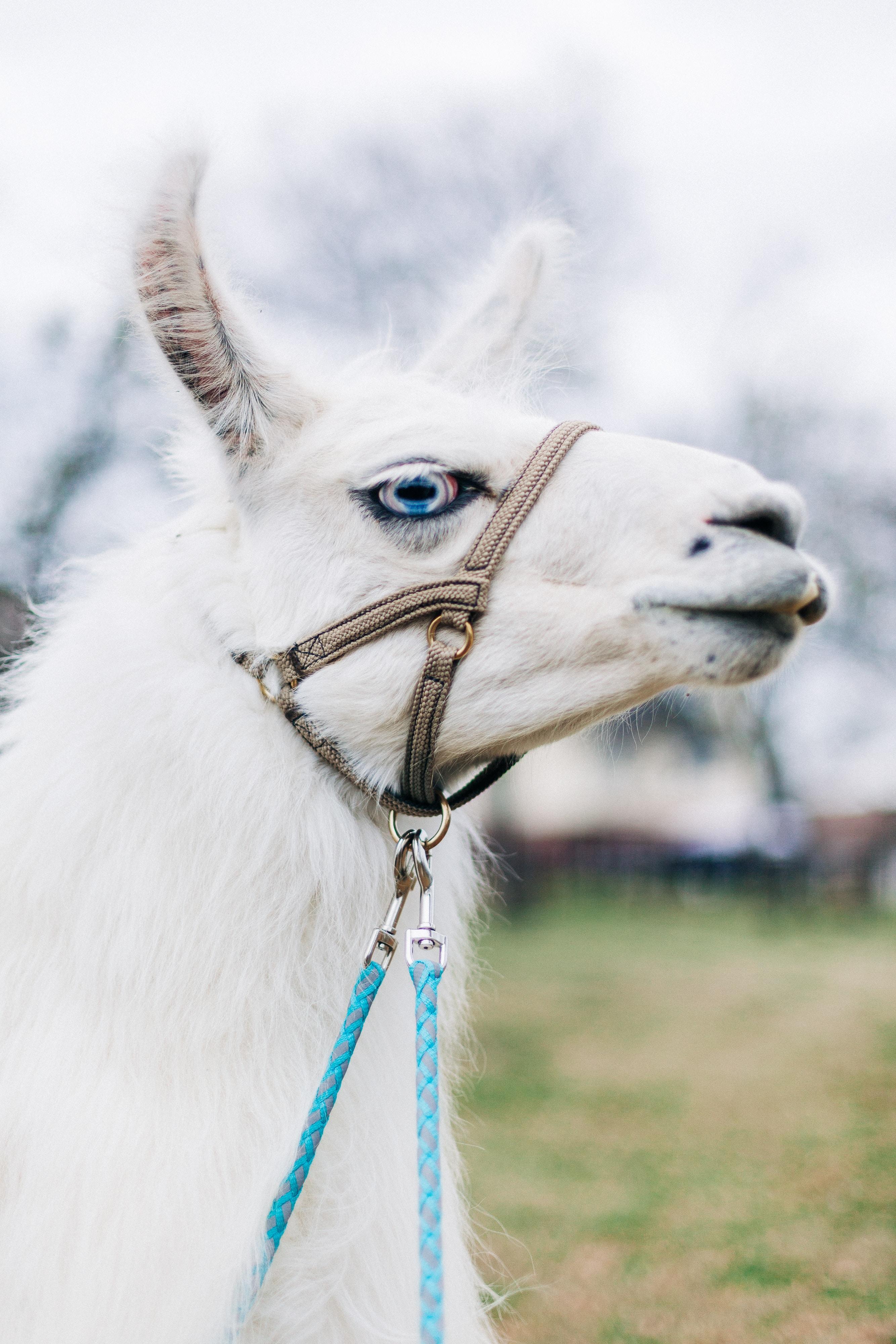white llama with trap