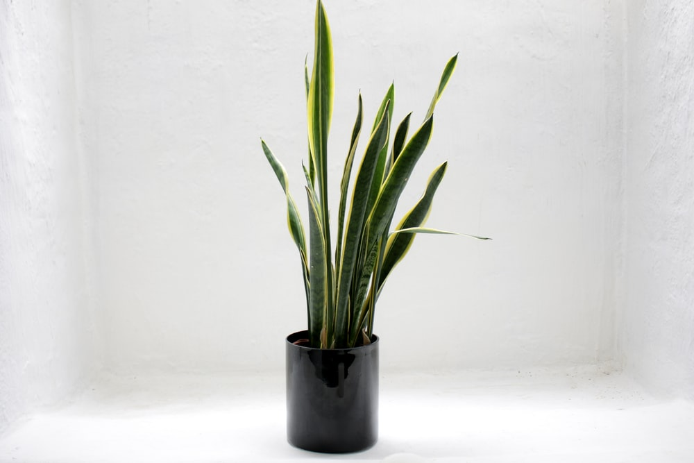 potted gold snake plant