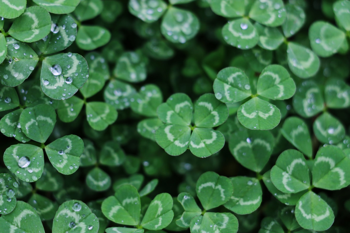 a four-leaf clover among other clovers