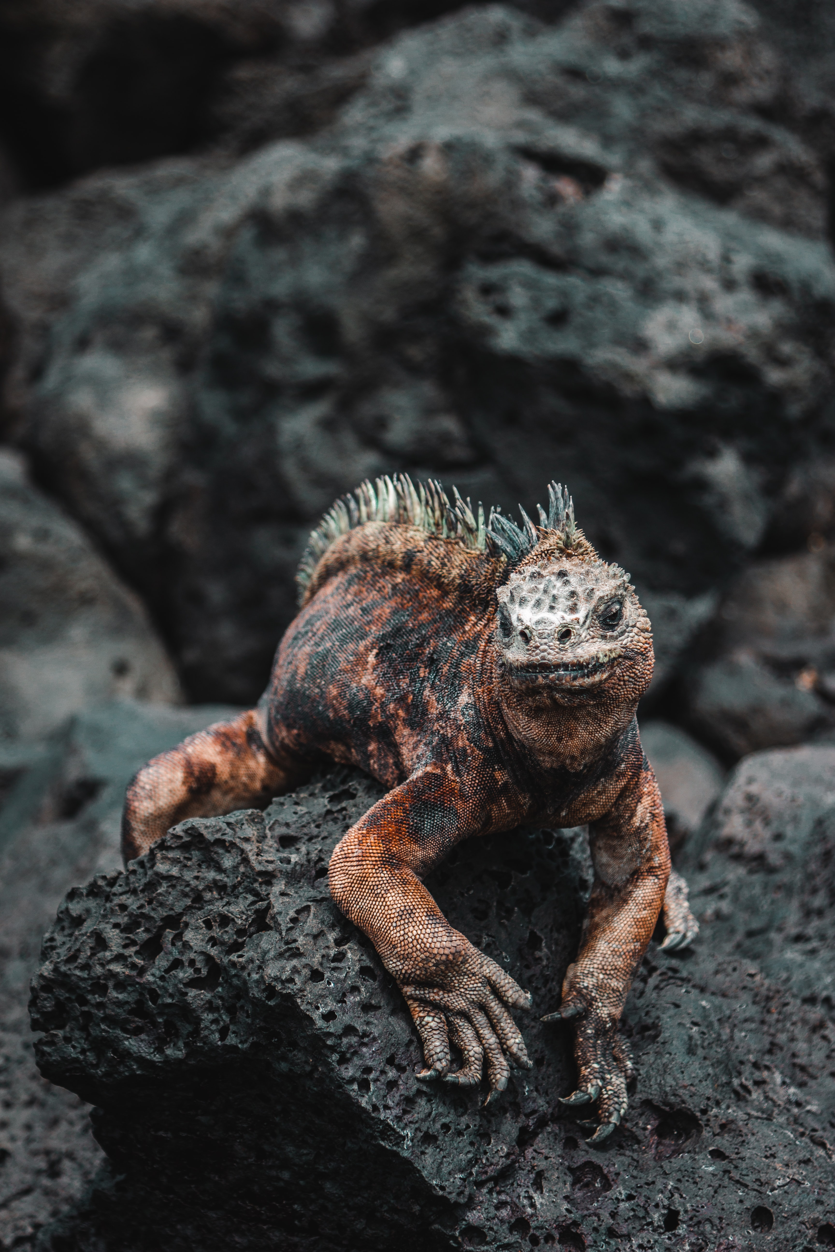focus photography of red iguana