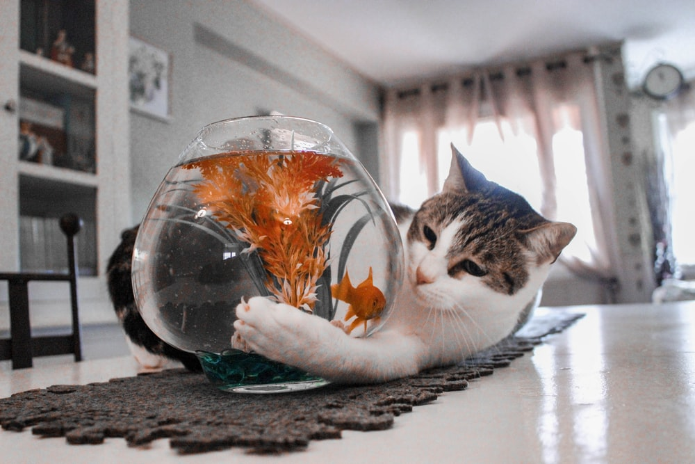 tabby cat playing with fish on fishbowl
