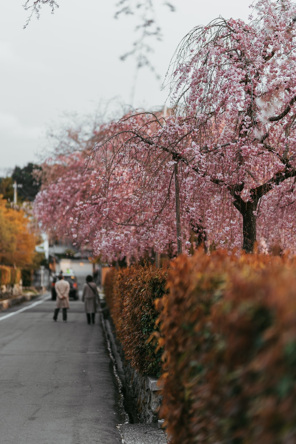 people near pink trees