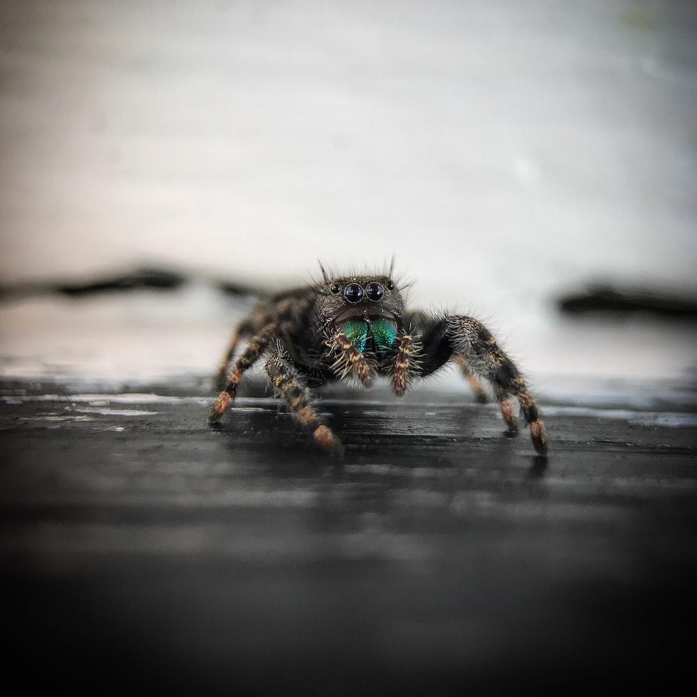 daring jumping spider on black surface