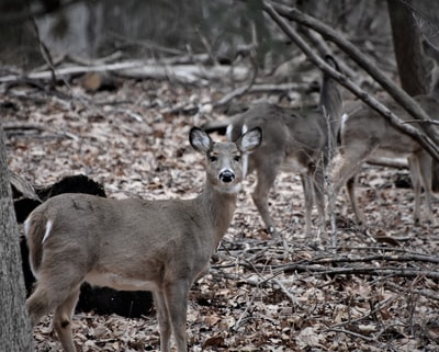 deer standing on forest during daytime gray wolf teams background