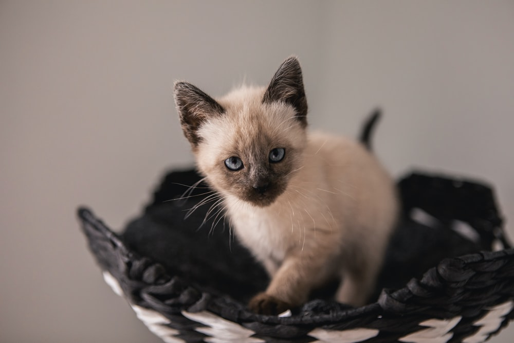 gray and black coated kitten standing on black and white wicker basket
