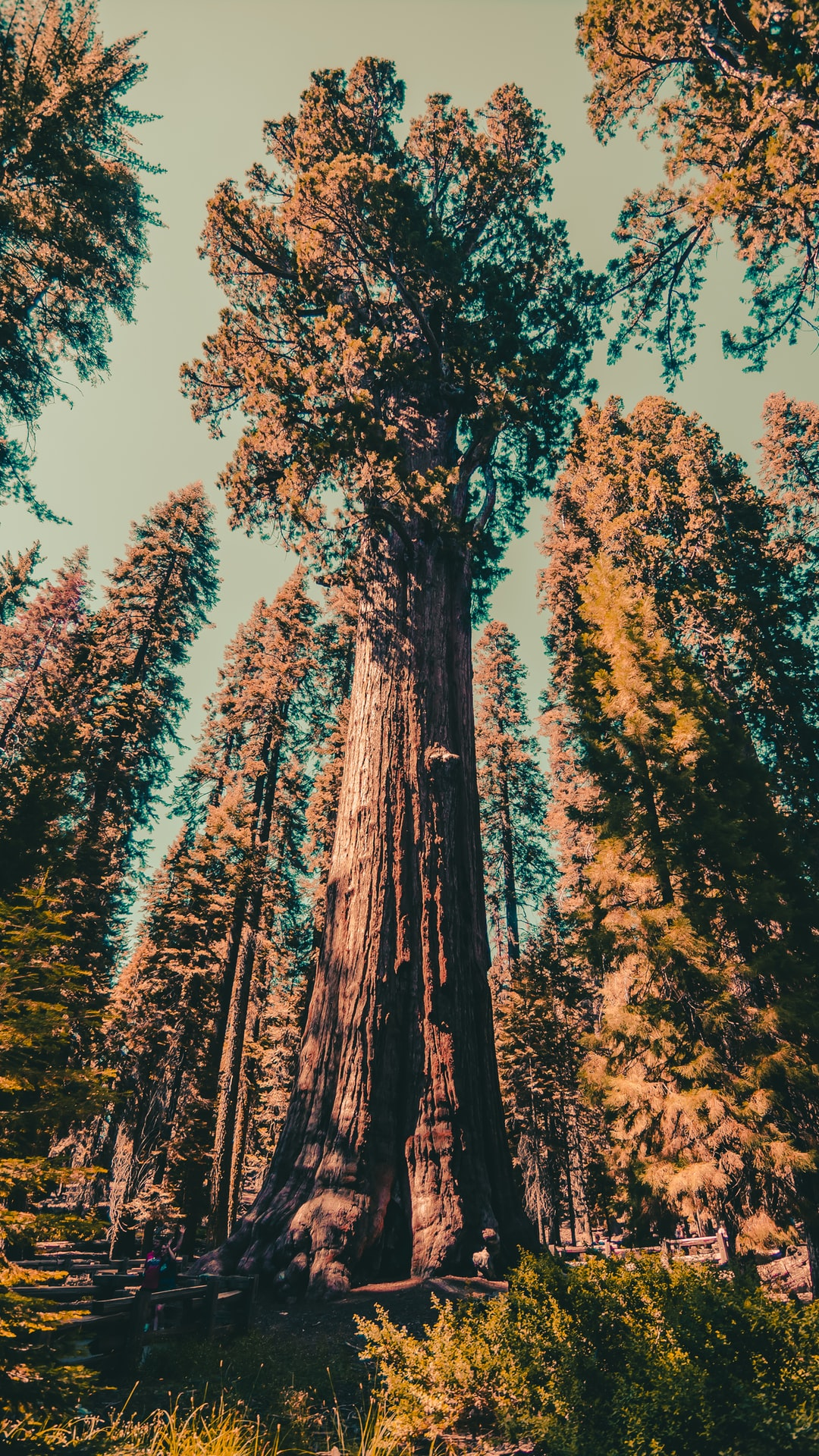 The tallest trees in the world. Here's where to find them