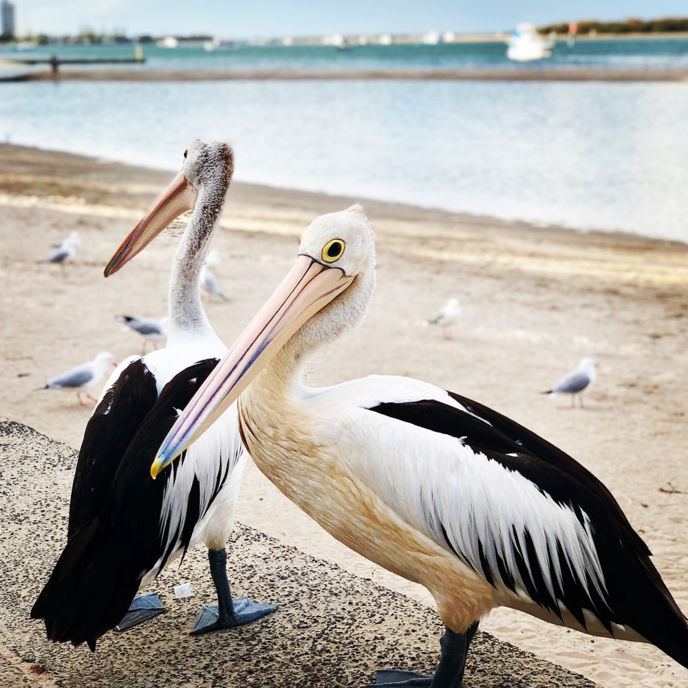 two white-and-black storks on seashore