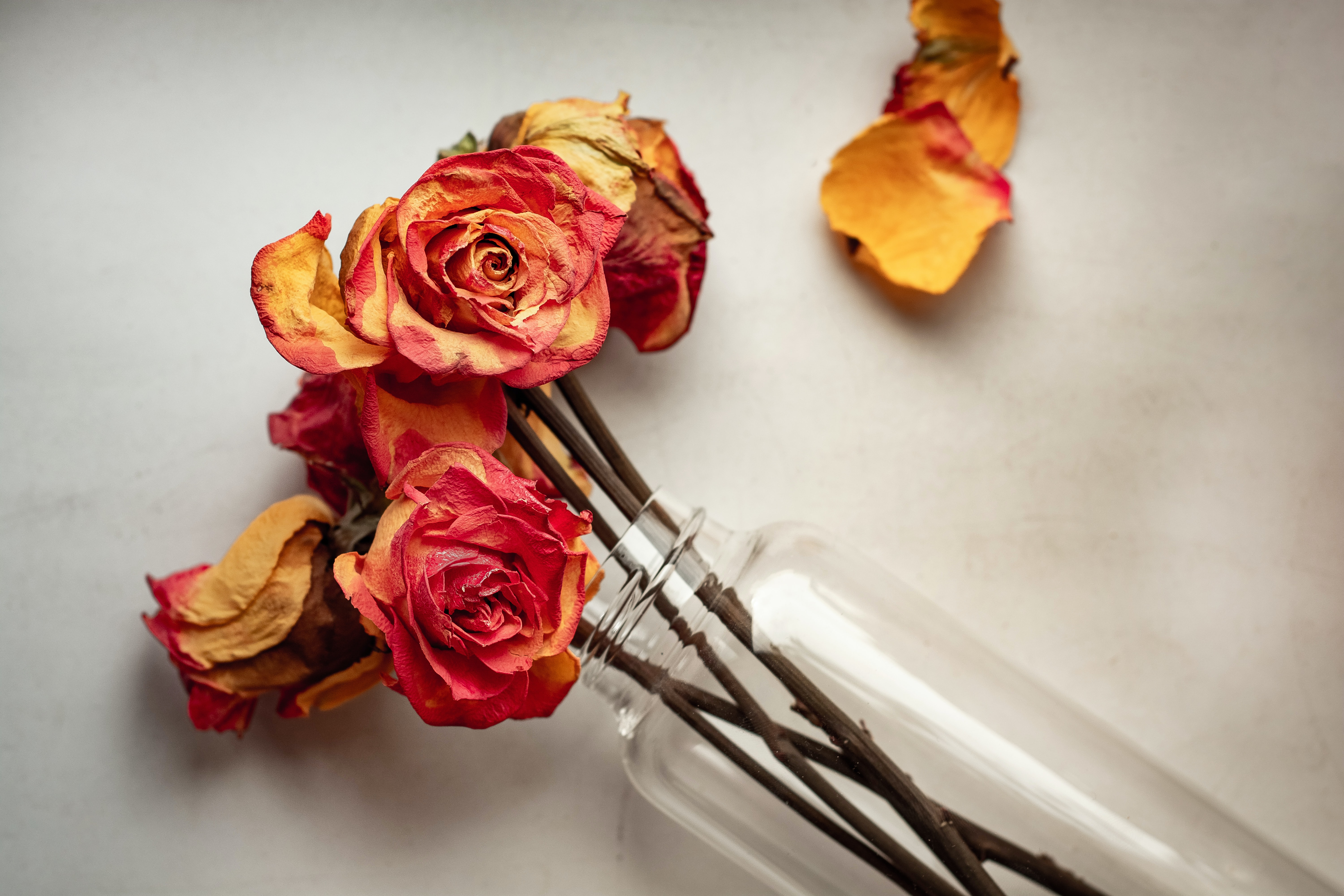 drying red rose flower in vase on white surface