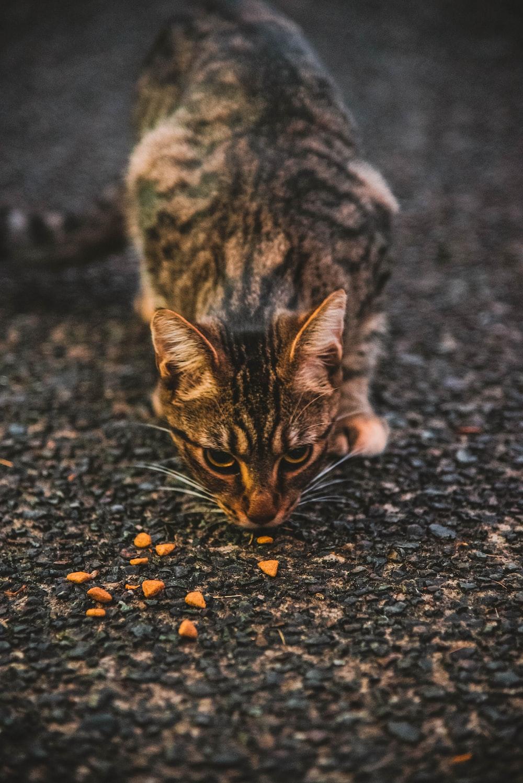 black and brown cat