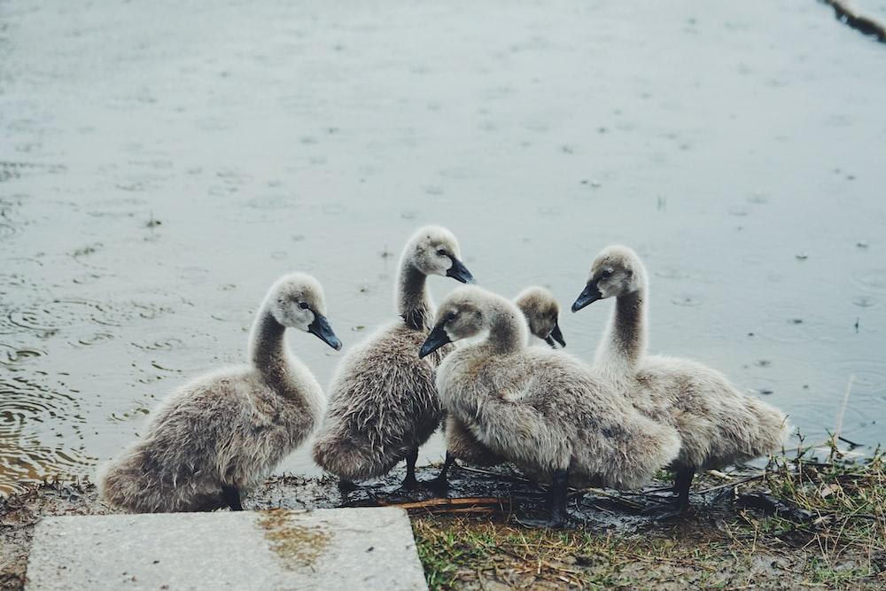 five gray ducks