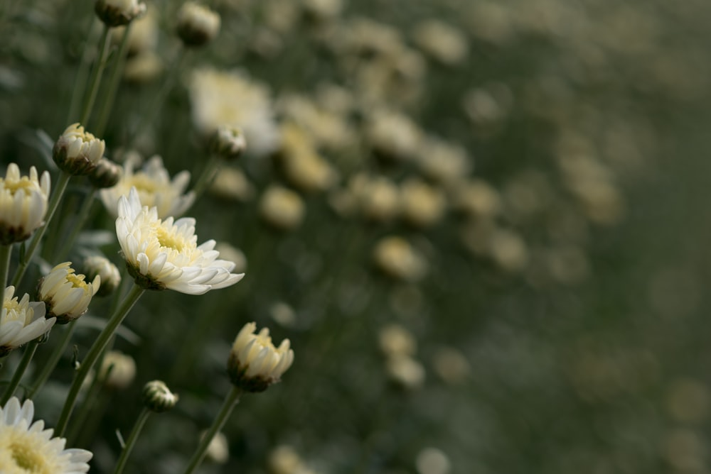 bed of white daisies