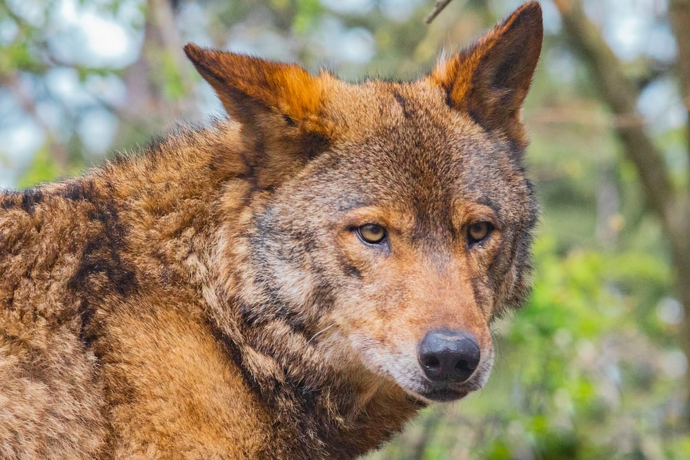 selective focus photography of brown wolf