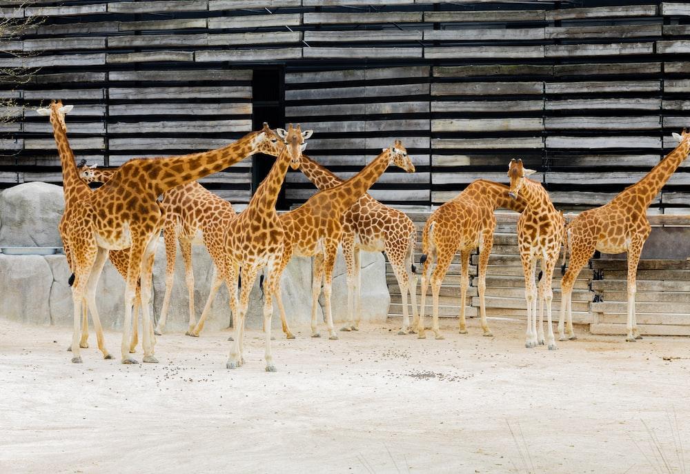 group of giraffe