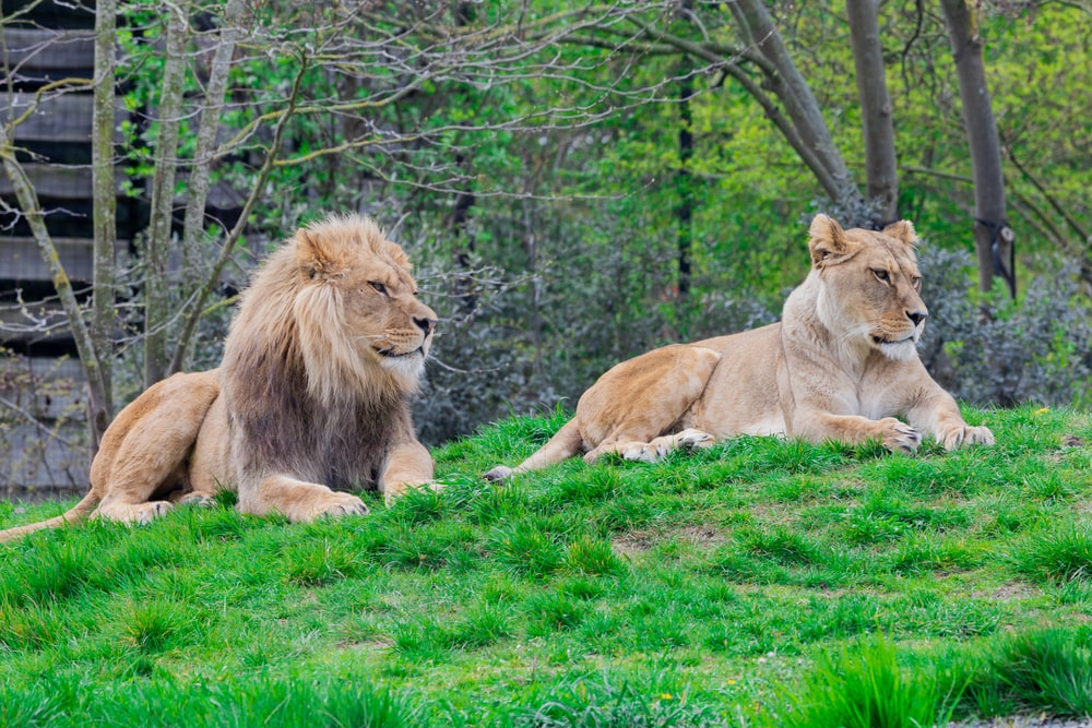 lion and lioness on green lawn grasses