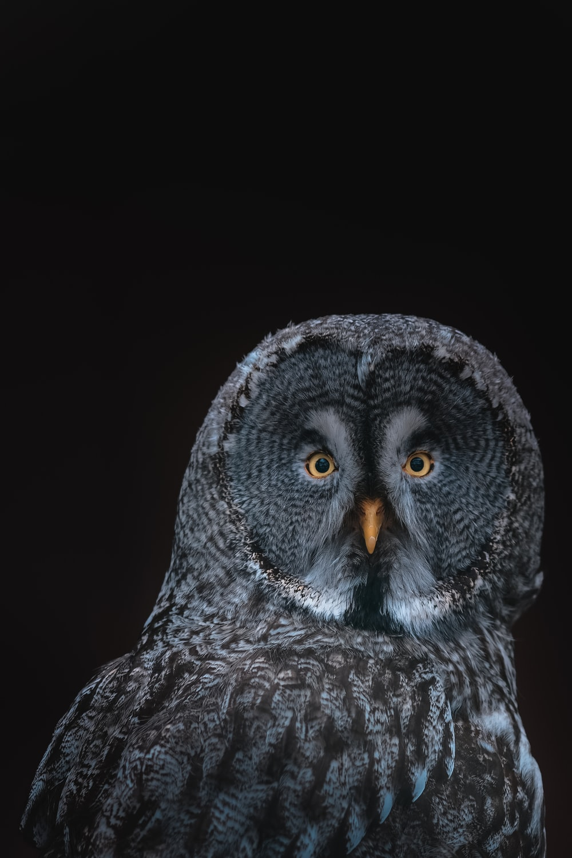 gray owl on black background