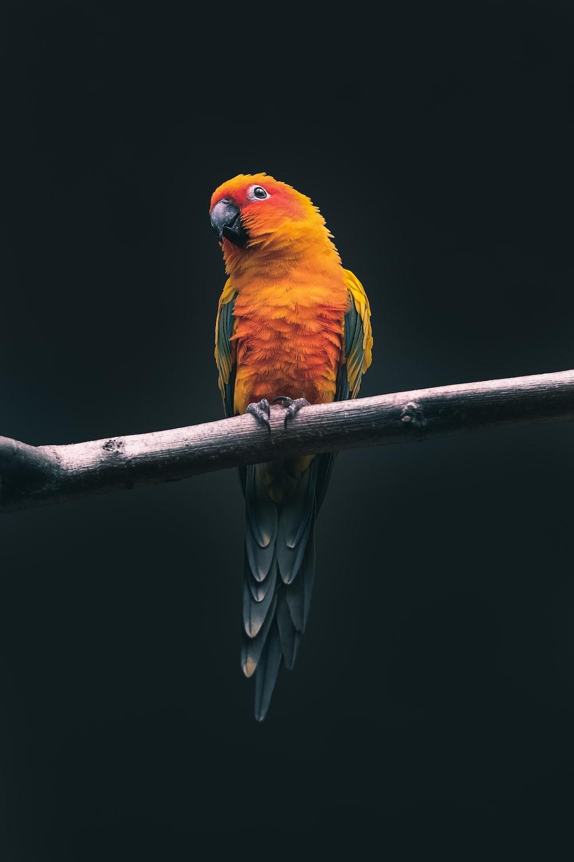 orange parrot