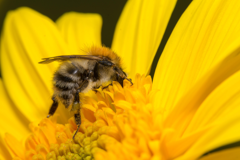 black bees in Sunflower pollen