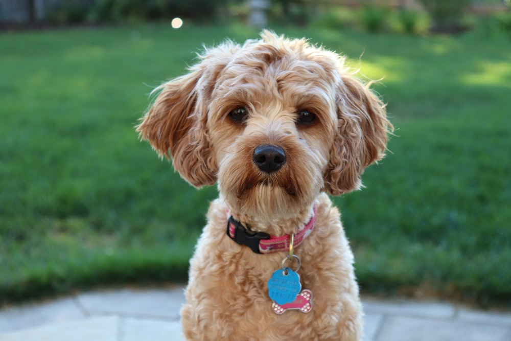 medium-coated tan dog near grass