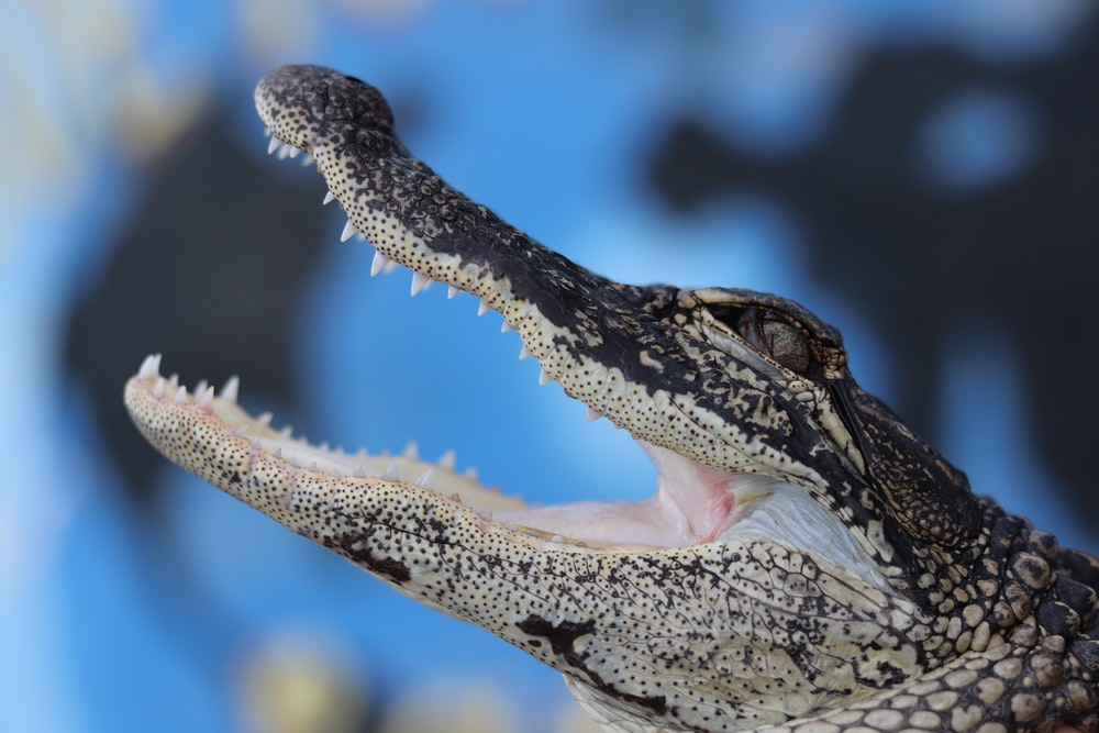 selective focus photography of alligator