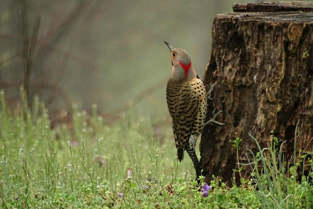brown and red bird beside green grass