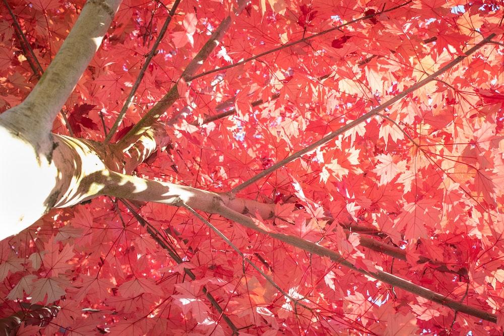 red sakura tree