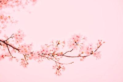 pink flowers at bloom sakura teams background