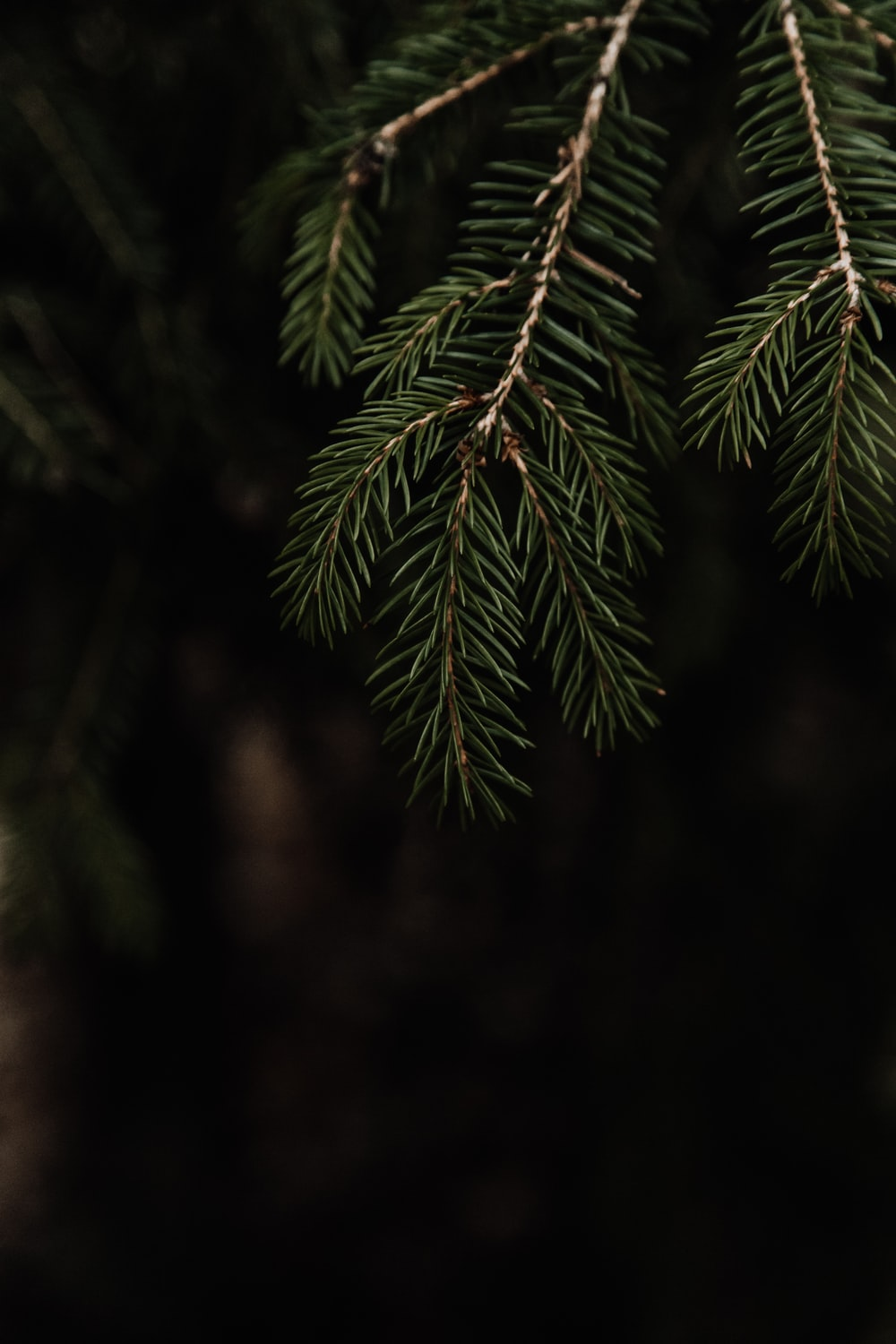 green pine leaves in closeup photography