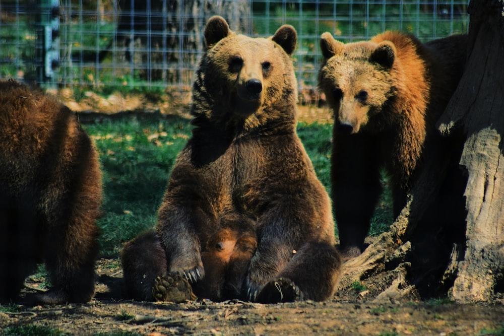 brown bear sitting on ground