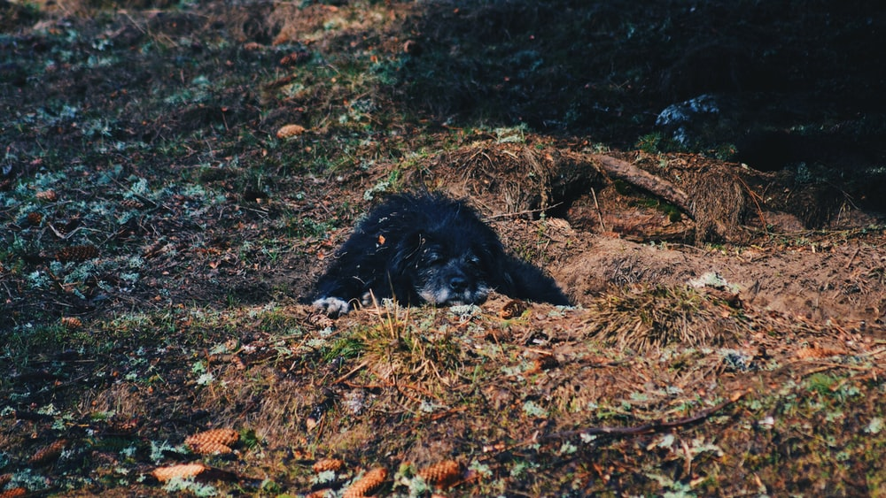 black dog lying on grass