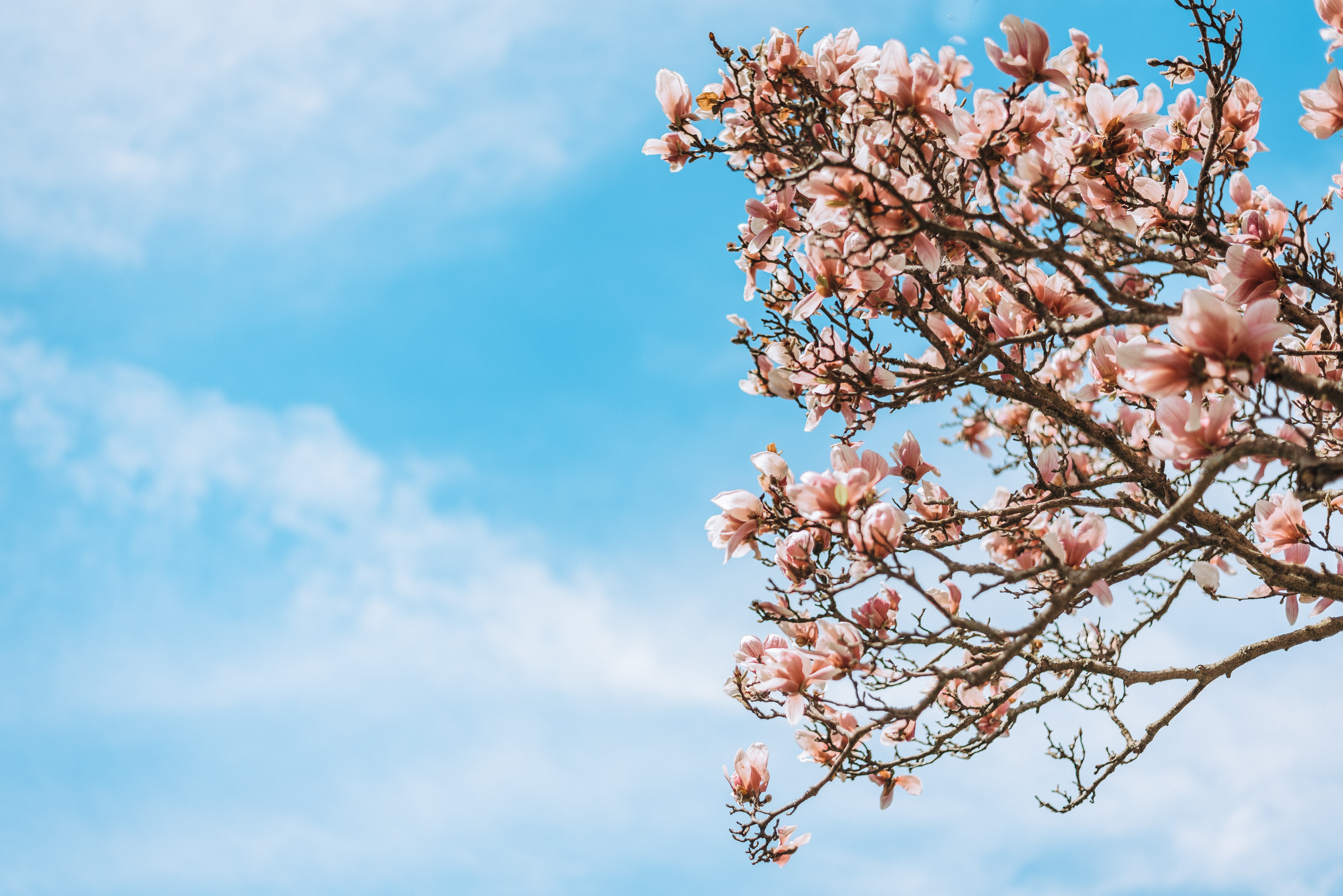 low-angle photography of pink cherry blossom