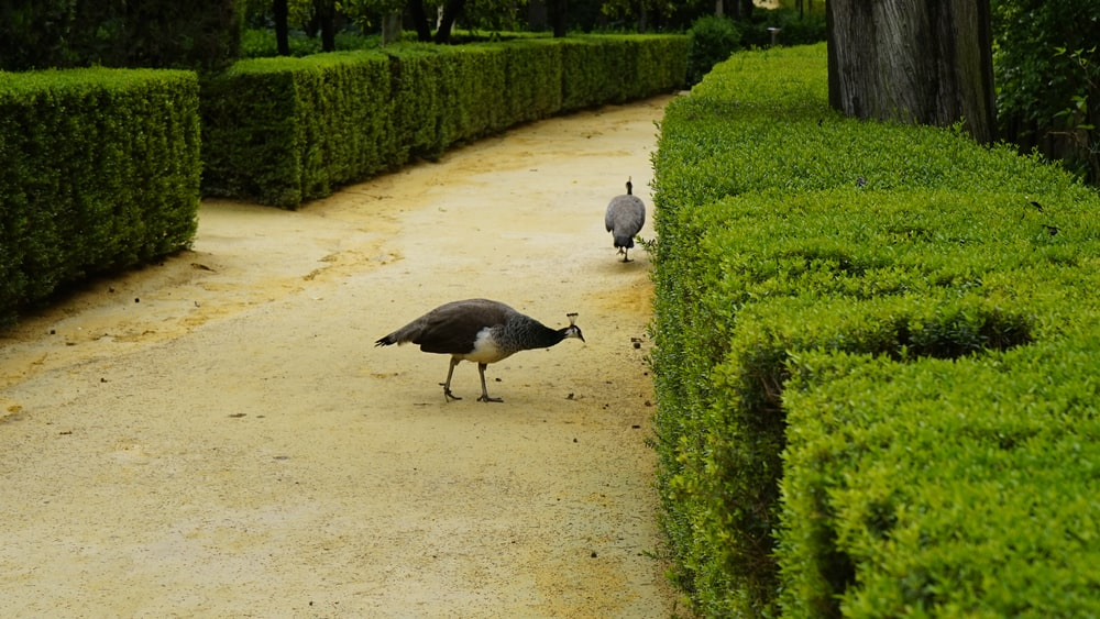 guineafowls by hedges