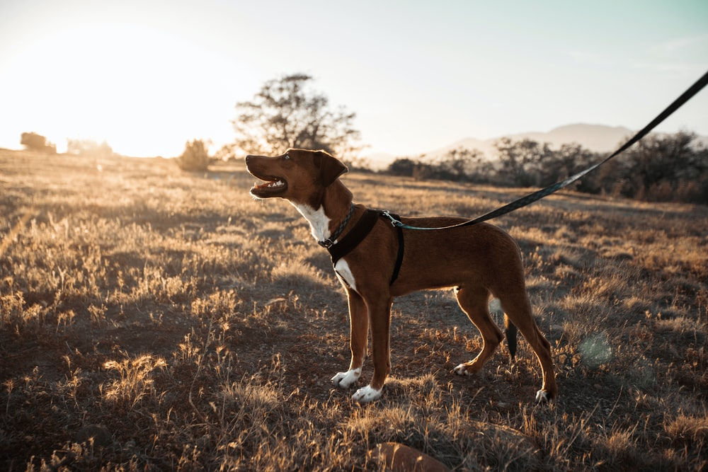 short-coated brown and white dog on black dog leash