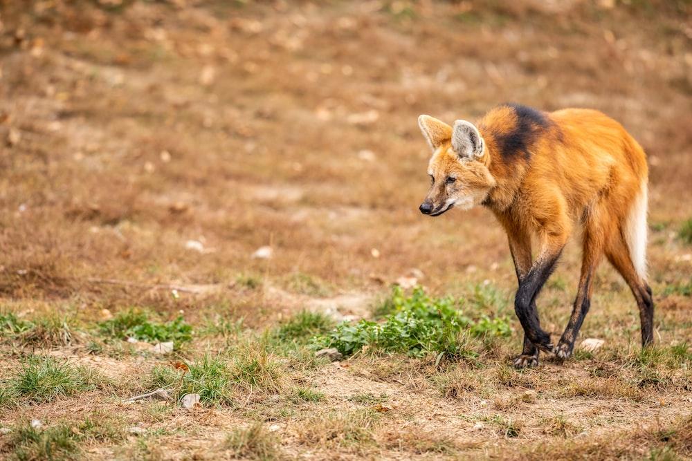 brown fox animal walking