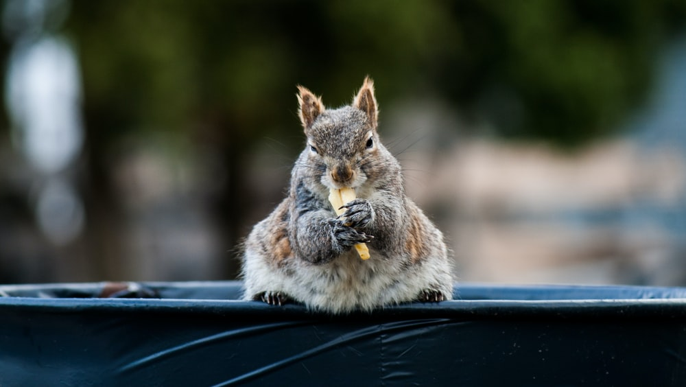 gray squirrel eating on top og bin