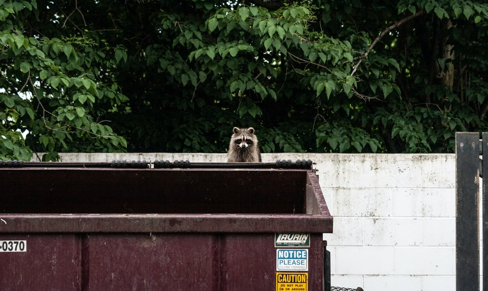 brown raccoon on garbage container