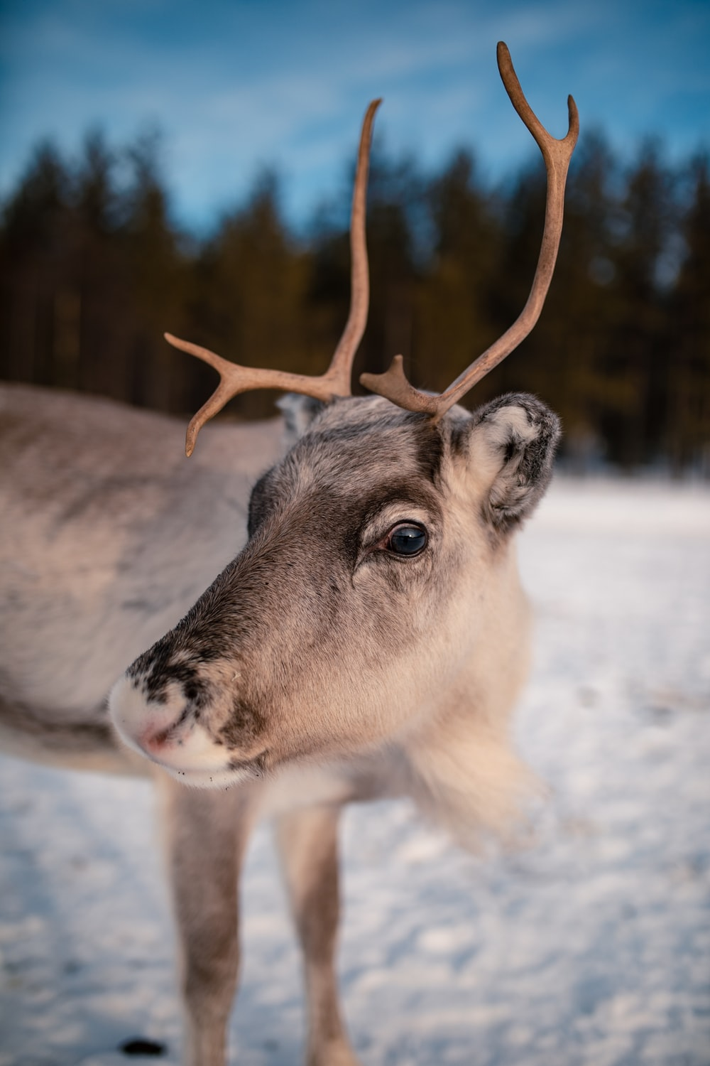 focus photography of deer standing during daytime