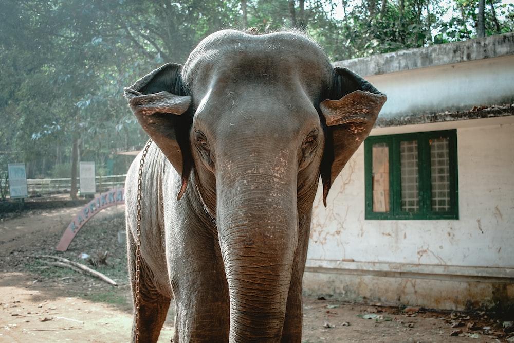gray elephant near white house