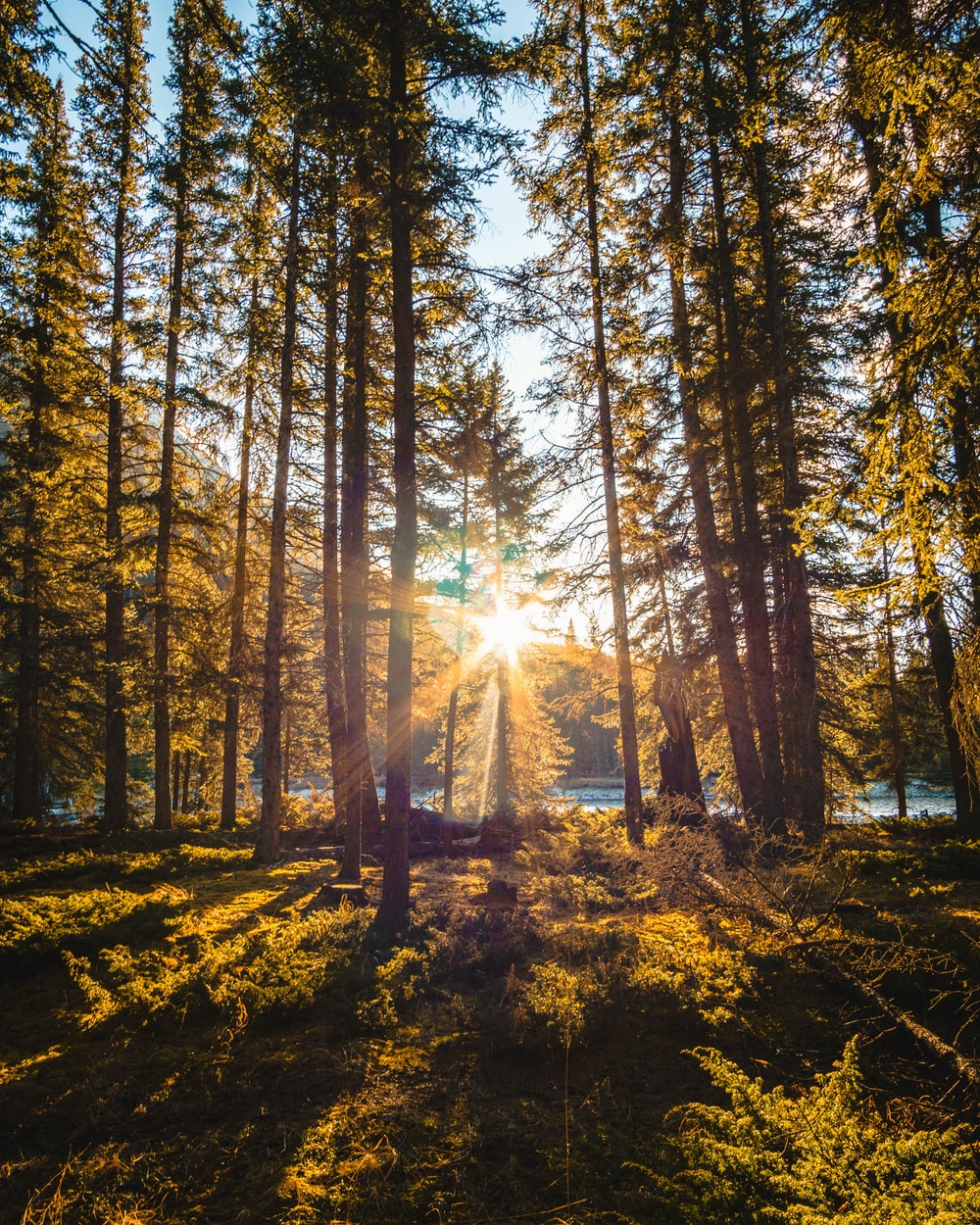 sun ray piercing through pine forest during day time