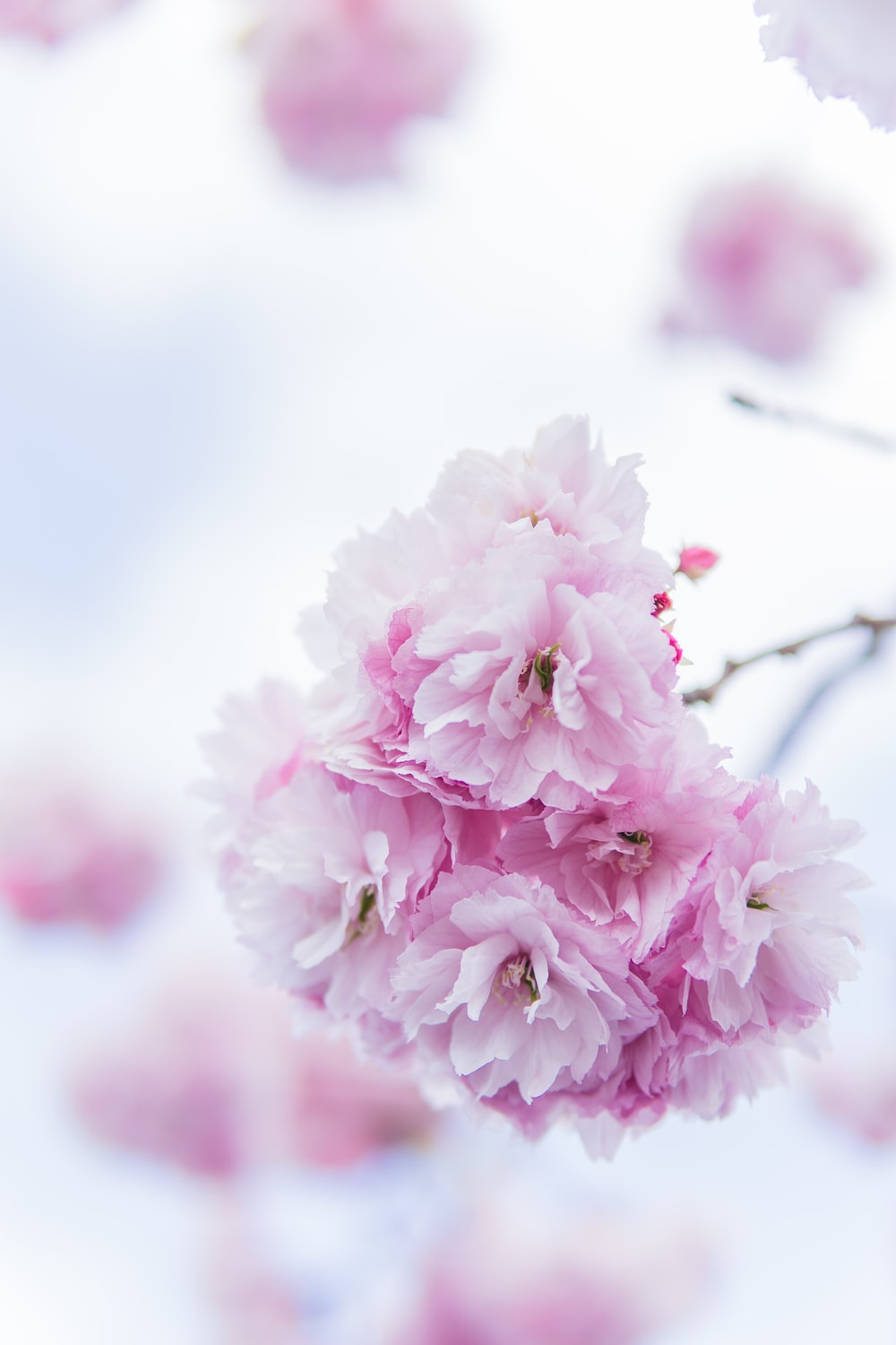 view of pink cherry blossoms