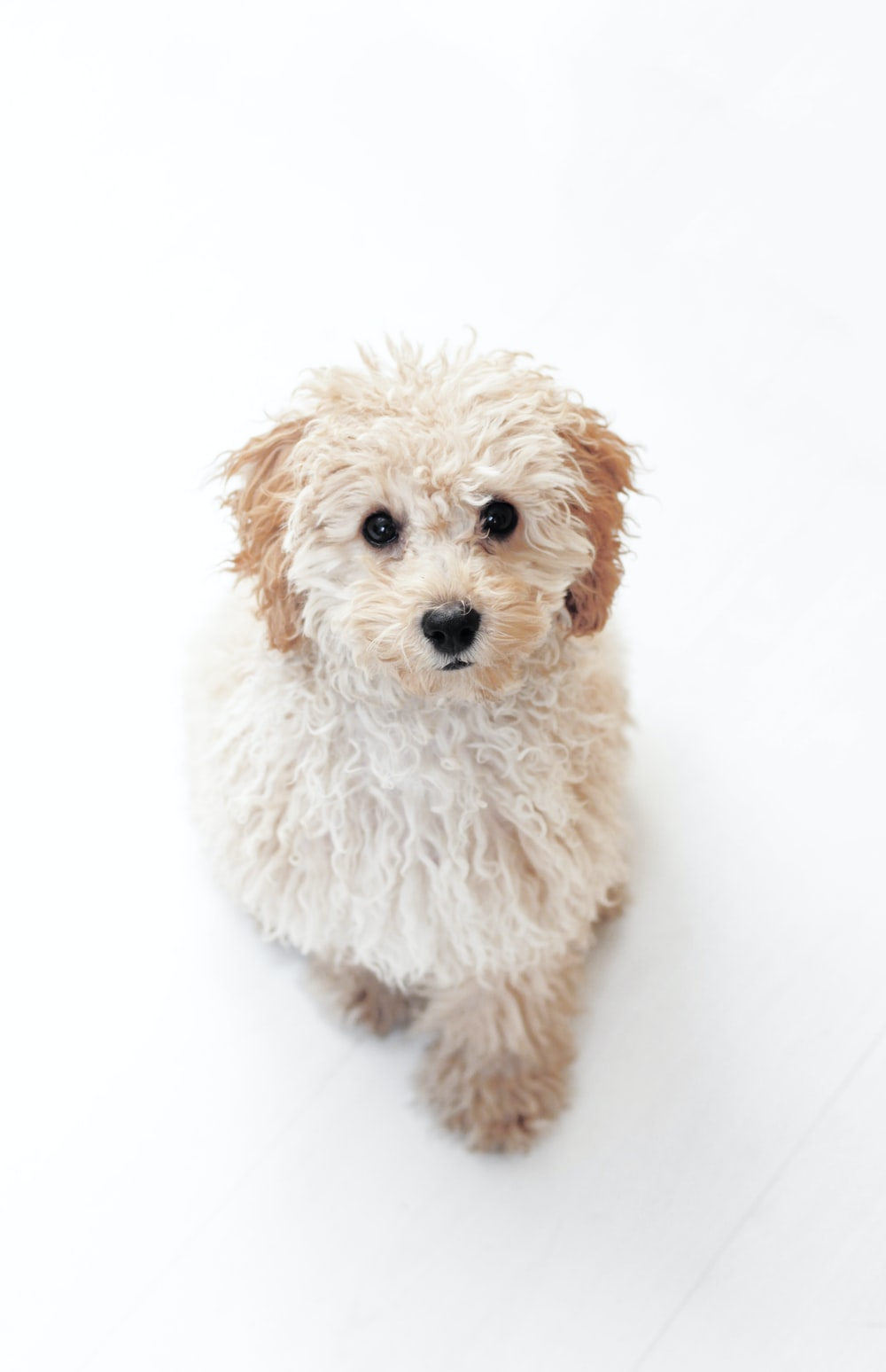 beige coated dog