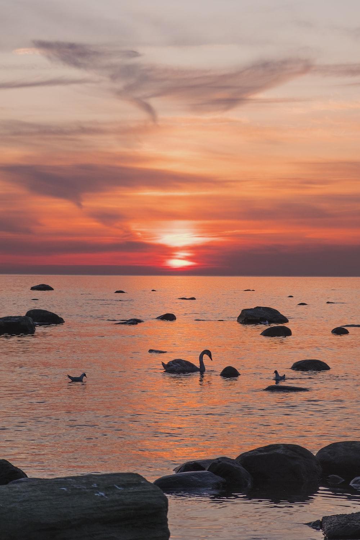 swan in body of water during golden hour