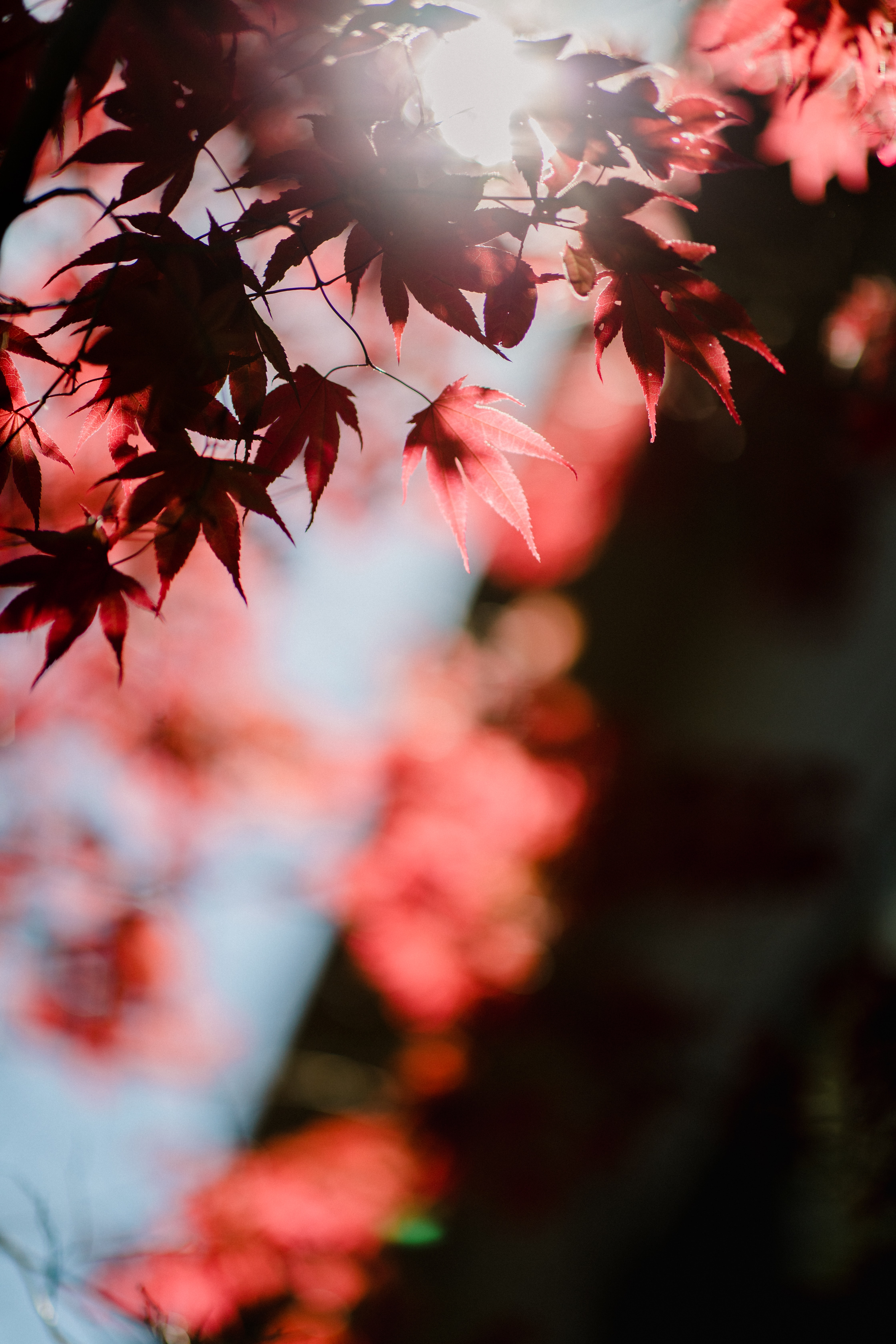 maple leaves view